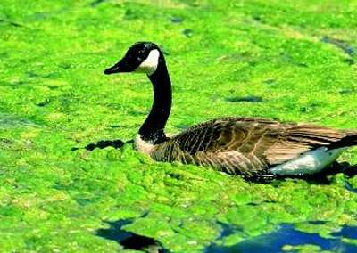 duck in algal bloom